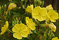 Evening Primrose at Birkdale, UK. Photo by Gary Rogers