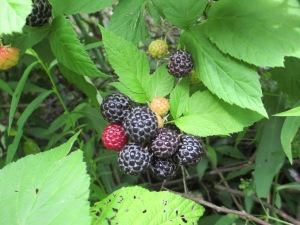 Blackberries in my backyard, July 2014