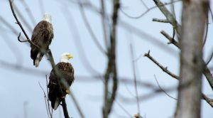 Eagles At Pymatuning Lake